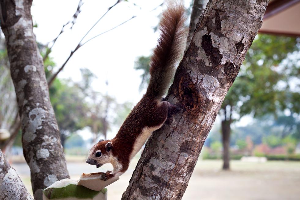 Écureuil mangeant une noix de coco à Ayutthaya, Thailande : .