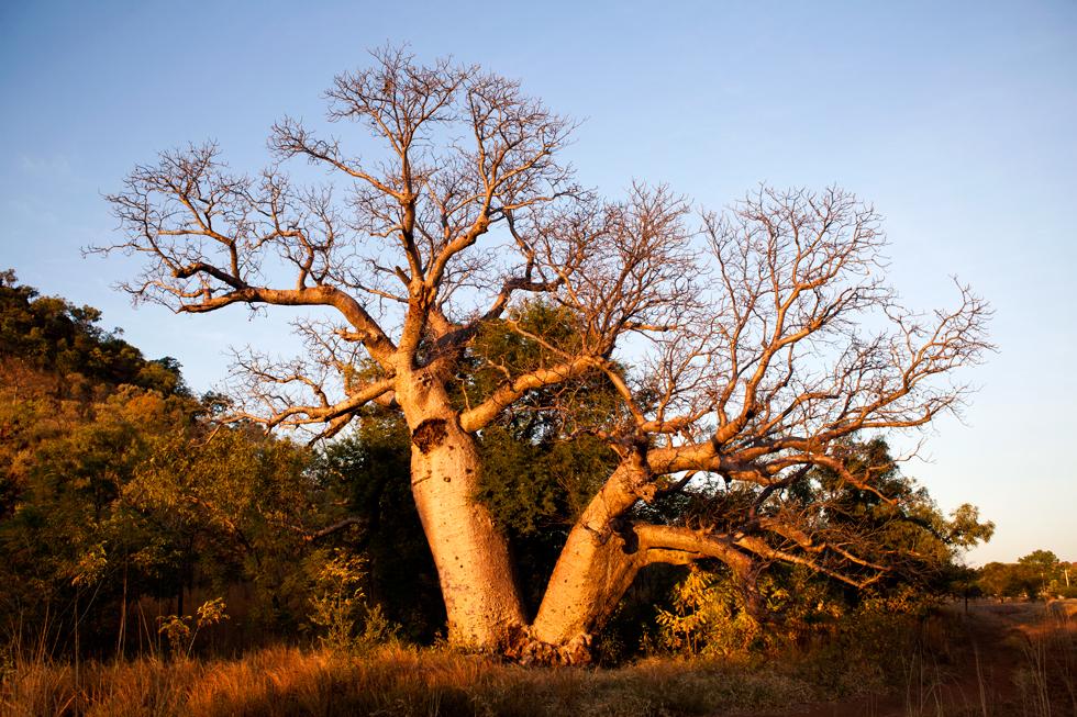 Baobabs à Kununurra, Western Australia : .