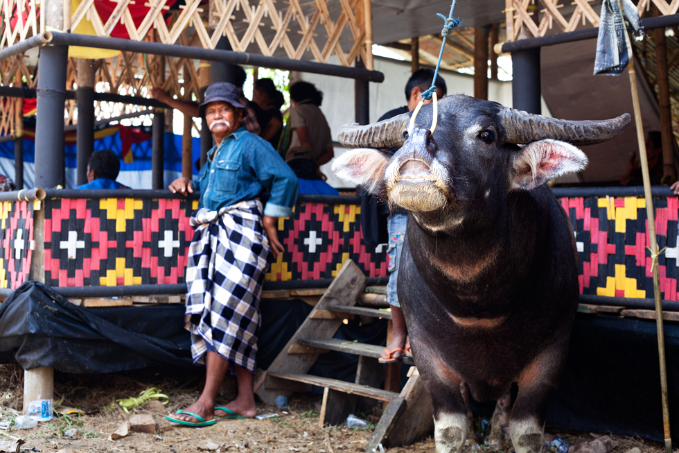 Sacrifice de Buffalo, rites funéraires en pays Toraja, Rantepao Sulawesi en Indonésie : .