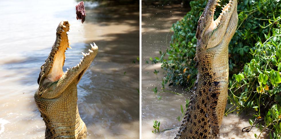Crocodile Jumping à Darwin, Northern Territory, Australie : .