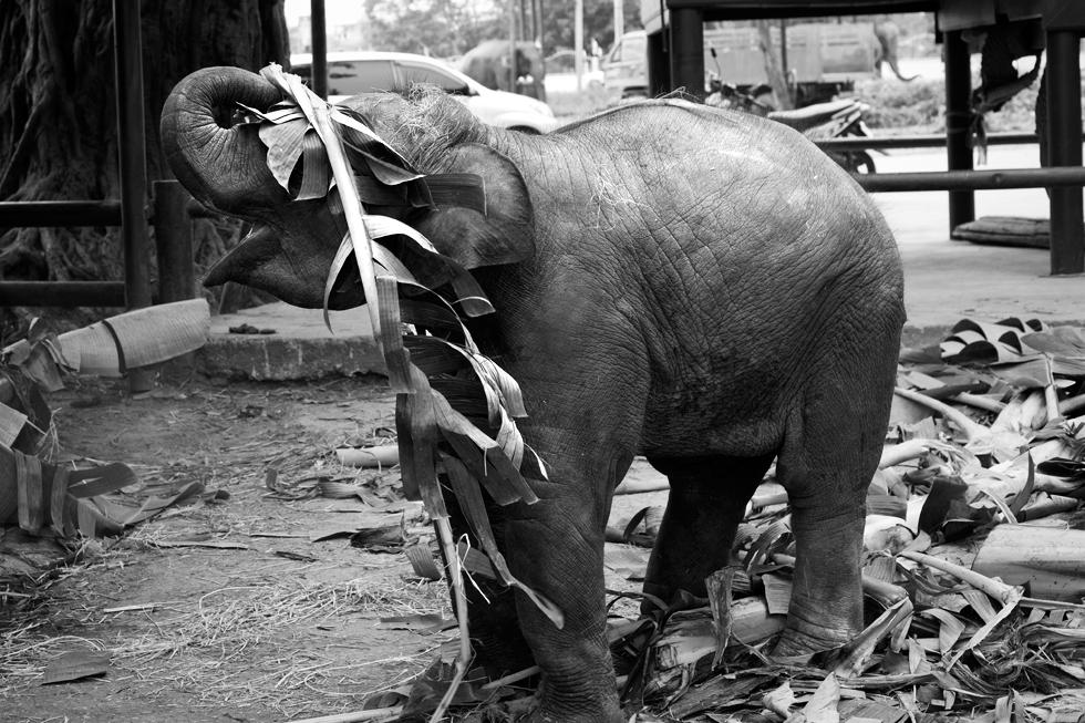 Éléphanteau à Ayutthaya, Thailande : .