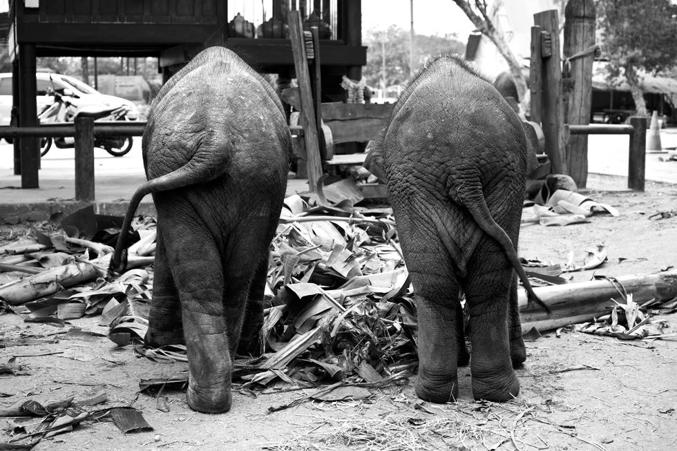 Éléphanteaux à Ayutthaya, Thailande : .