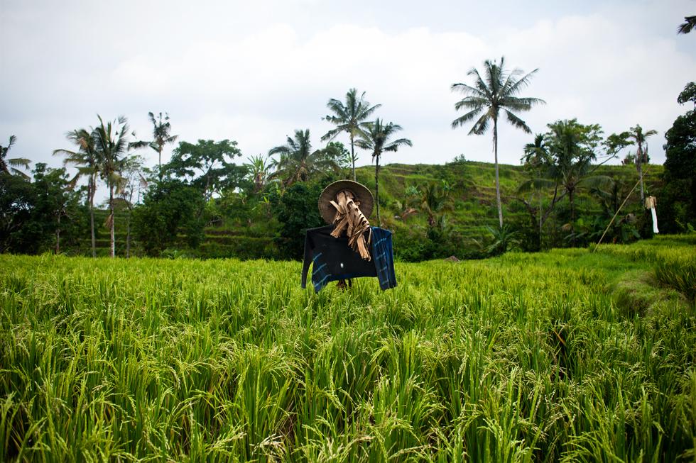 Épouvantail dans une rizière à Jatiluwih, Bali Indonésie : .