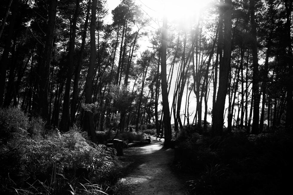 Forêt de pins, Wai-O-Tapu, Nouvelle Zélande : .