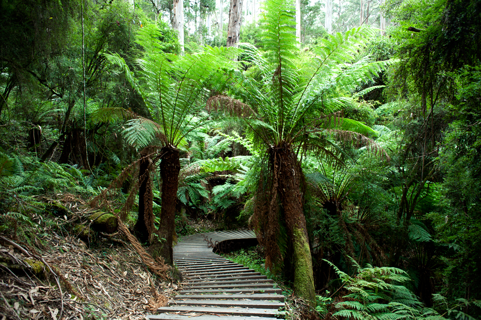 Forêt sur la Great Ocean Road, OZ : .