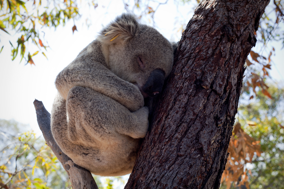 Koala sur Magnetic Island, Queensland, Australie : .