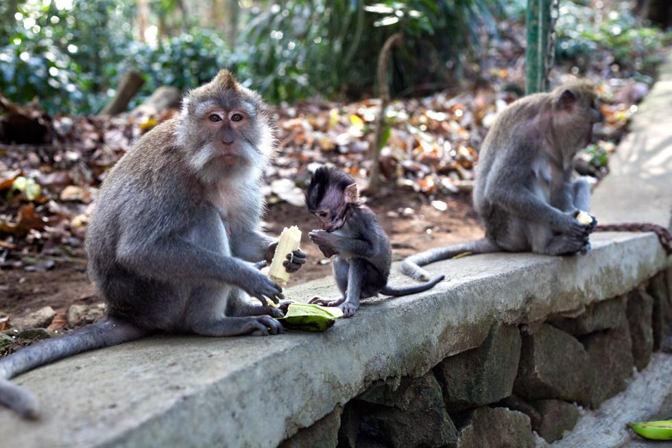 Singes à Monkey Forest, Ubud à Bali, Indonésie : .