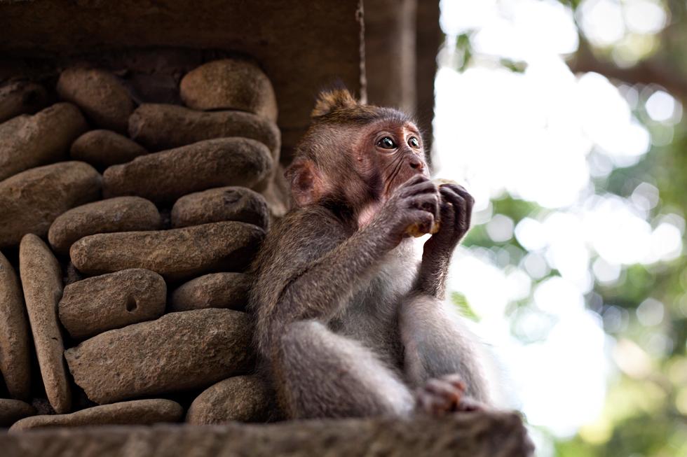 Singe à Monkey Forest, Ubud à Bali, Indonésie : .