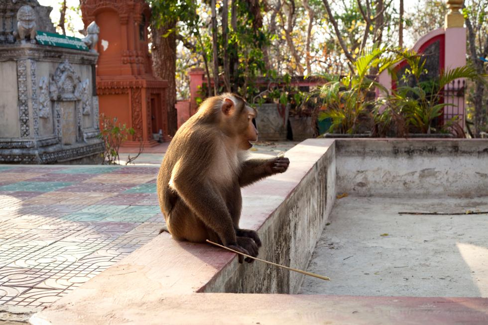 Singe dans un temple près de Kratie, Cambodge : .