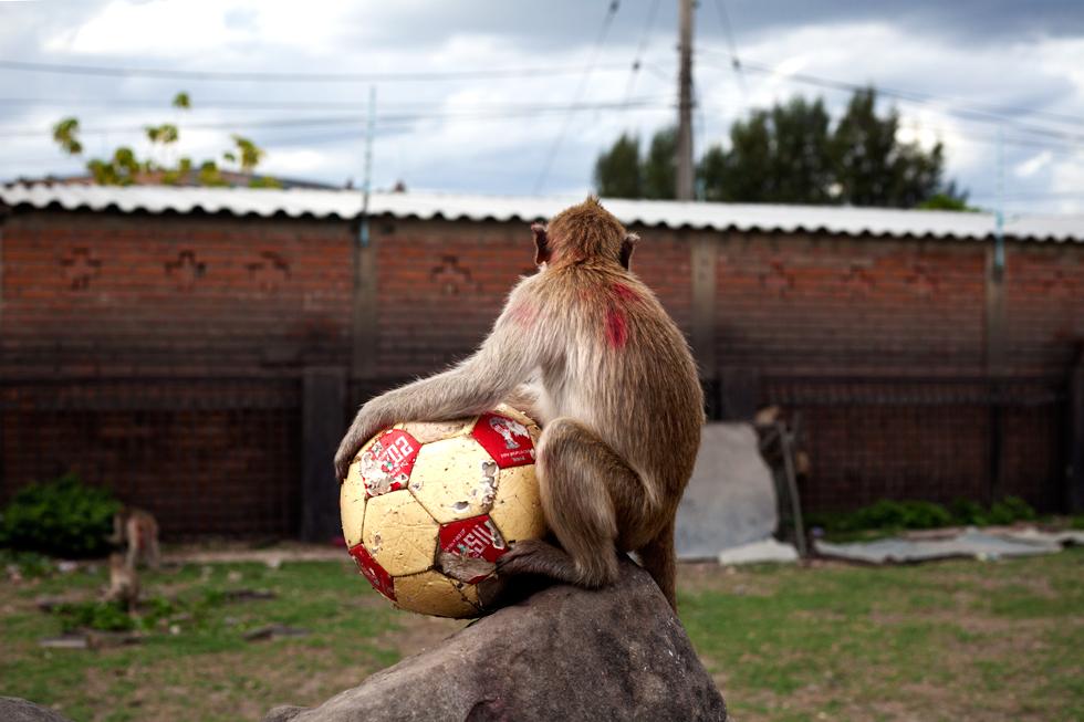 Singe et son ballon à Lopburi, Thailande : .