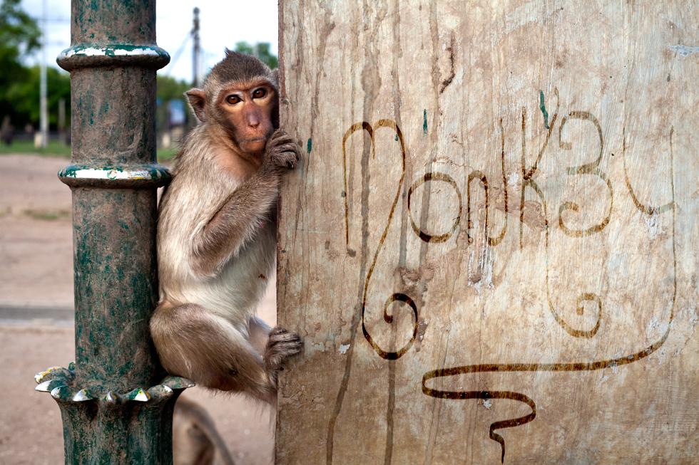 Singe à Lopburi, Thailande : .