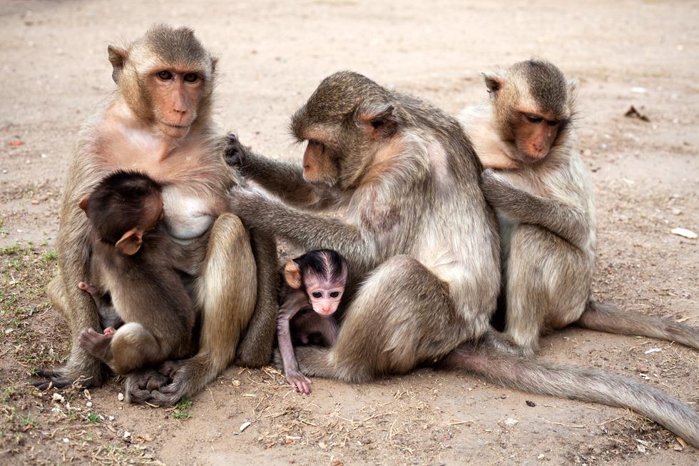 Moment de toilette pour les singes à Lopburi, Thailande : .