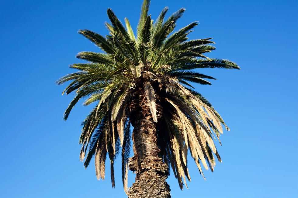 Palmier à St Kilda, Melbourne : .