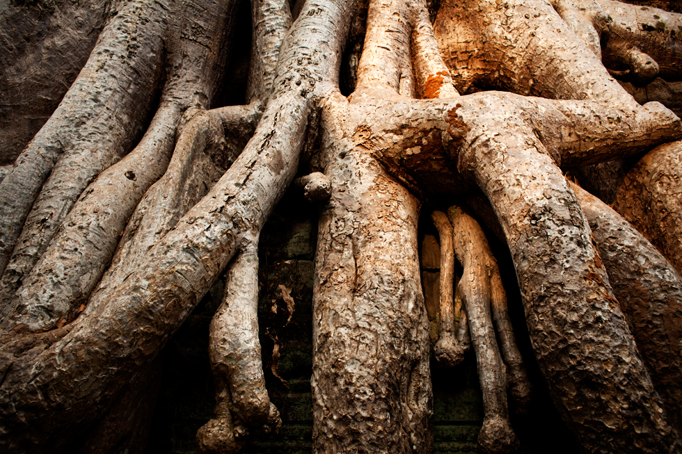 Racines d'un Fromager sur le temple d'Angkor à Siem Reap, Cambodge : .