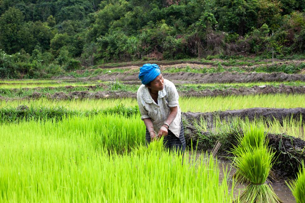riziere#laos
