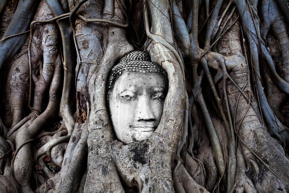 Tête de Bouddha emprisonnée dans les racines à Ayutthaya, Thailande : .