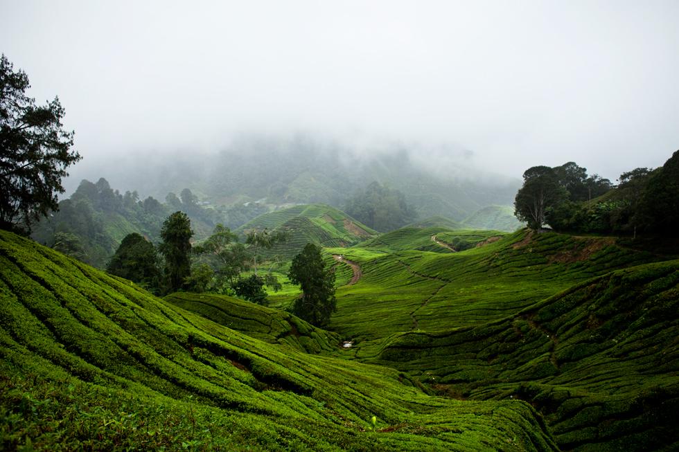 Plantations de thé à Cameron Highland, Malaysia : .