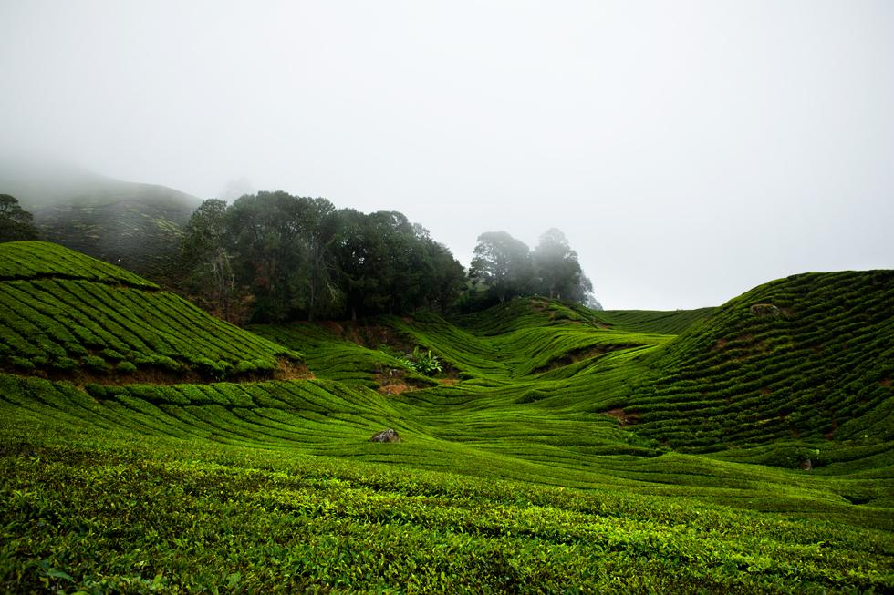 Plantations de thé à Cameron Highland, Malaysia