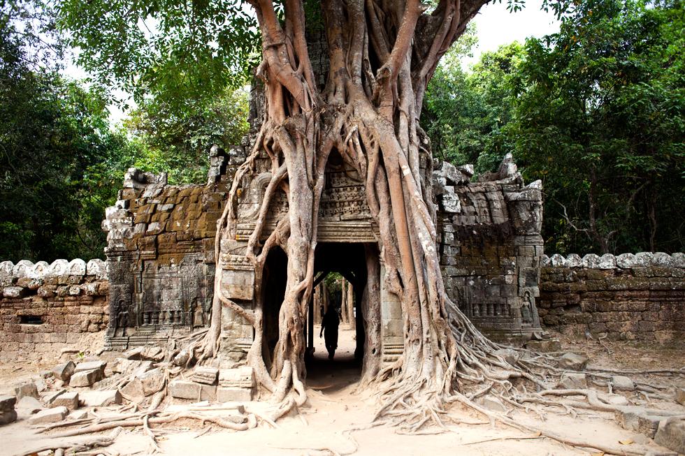 Racines de fromagers envahissant l'entrée d'un temple à Angkor, Cambodge : .